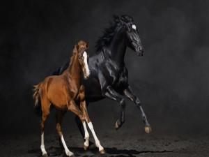 Potro marrón junto a un caballo negro
