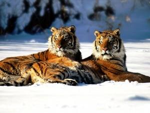 Tigres tumbados en la nieve