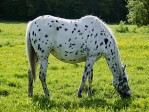 Un caballo blanco con manchas negras