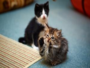 Dos gatitos juguetones
