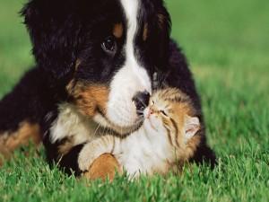 Perro protegiendo a un gatito