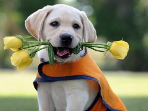 Rosas amarillas en la boca de un perro