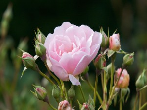 Rosa entre capullos
