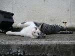 Gato tumbado en la calle