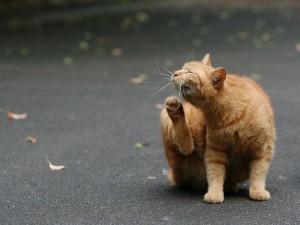 Gato rascándose con la pata trasera