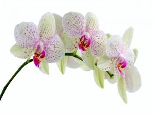 Flores de orquídea en una ramita