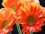 Espléndidas gerberas de color naranja