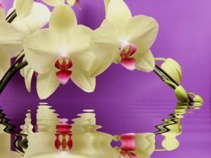 Orquídeas reflejadas en el agua