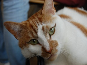 La cara de un hermoso gato