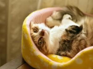 Gato tumbado en su cesto