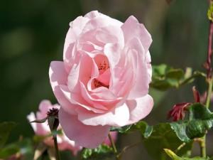 Linda rosa en el rosal