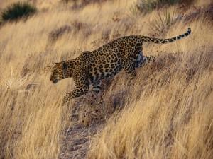 Un leopardo caminando