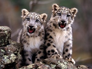 Cachorros de leopardo de las nieves