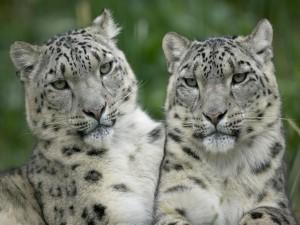 Dos leopardos de las nieves