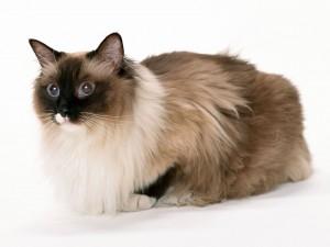 Un bonito gato de pelo largo