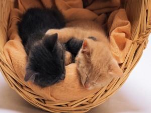 Dos gatitos durmiendo en una cesta
