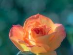 Delicada rosa de color naranja y amarillo
