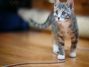 Pequeño gato de color gris