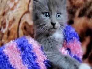 Un lindo gatito gris