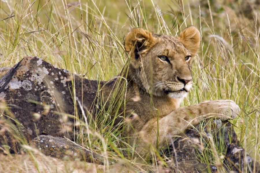 Joven león junto a unas rocas