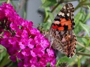 Mariposa sobre unas florecillas fucsias