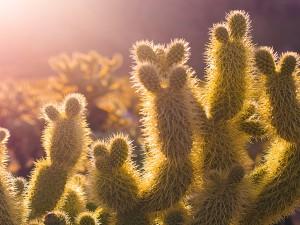 Cactus iluminados por el sol