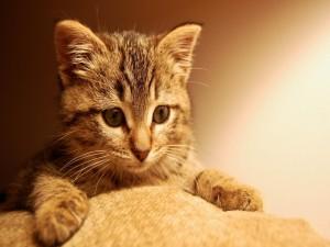 Gatito tratando de subir al sofá