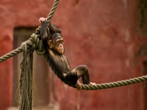 Chimpancé sentado en una cuerda