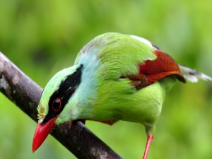 Urraca verde común sobre una rama