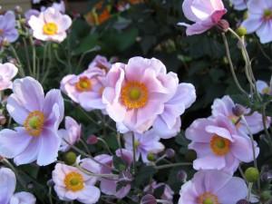 Vistosos clematis en el jardín