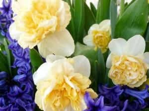 Narcisos amarillos y jacintos de color púrpura