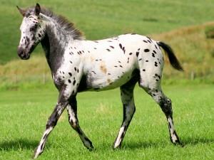 Un joven caballo comiendo hierba