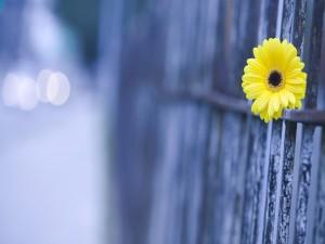 Gerbera amarilla sobre una valla