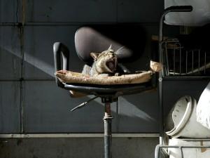 Gato bostezando sobre una silla