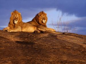 Dos leones descansando