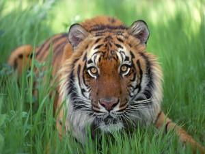 Un joven tigre sobre la hierba