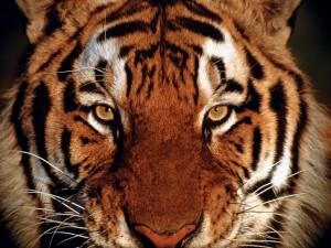 La mirada de un tigre