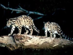 Dos panteras nebulosa caminando sobre un tronco