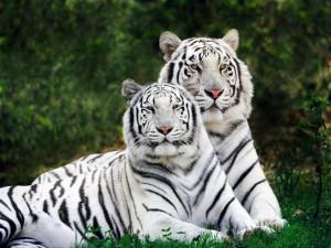 Dos hermosos tigres blancos