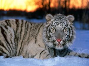Pequeño tigre sobre la nieve