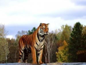 Tigre observando desde las rocas