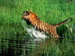 Tigre saltando al agua