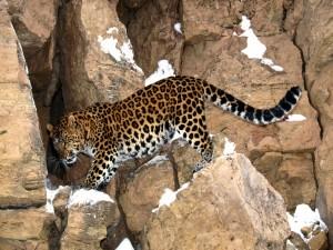 Leopardo caminando sobre las rocas