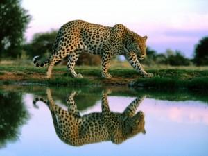 Leopardo reflejado en el agua