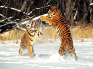 Tigres peleando sobre la nieve