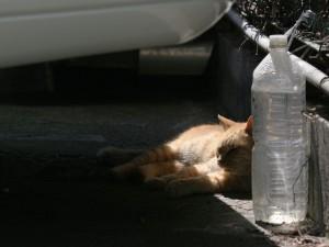 Gato dormitando junto a una botella de agua