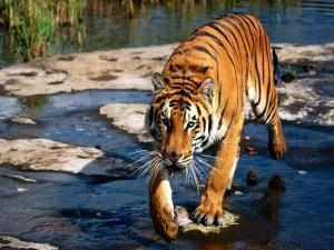 Tigre caminando por un río