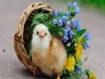 Pollito junto a una cesta con flores