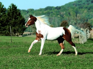 Hermoso caballo blanco y marrón