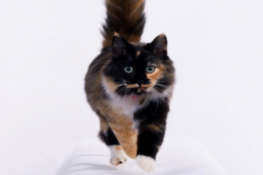 Un bonito gato tricolor